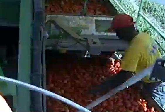 In provincia di Foggia la manodopera straniera supera quella locale