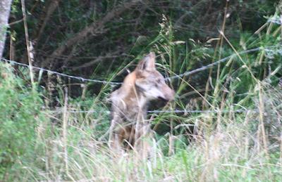Torna il lupo sul Gargano: bel segnale di migliorata biodiversità
